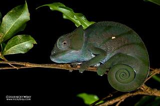 Parson's chameleon (Calumma parsonii) - DSC_7723