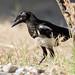 Urraca común (Common magpie) / Pica pica
