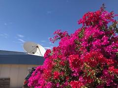 Bougainvillea, Space Museum, Carnarvon