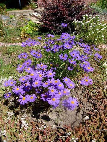 Брахикома - для цветников природного стиля