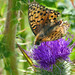 Large Pearl Bordered Fritillary