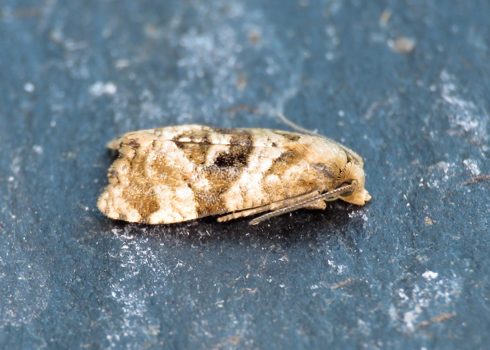 49.108 Water-plantain Conch - Gynnidomorpha alismana