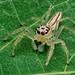 Salticidae, Thailand, Khao Lak, Baan Krating Resort
