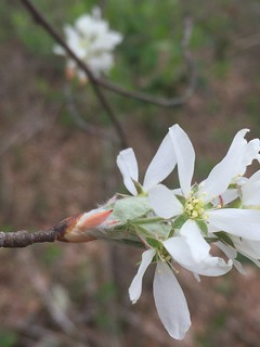 Common Serviceberry (Amelanchier arborea) 2 of 4