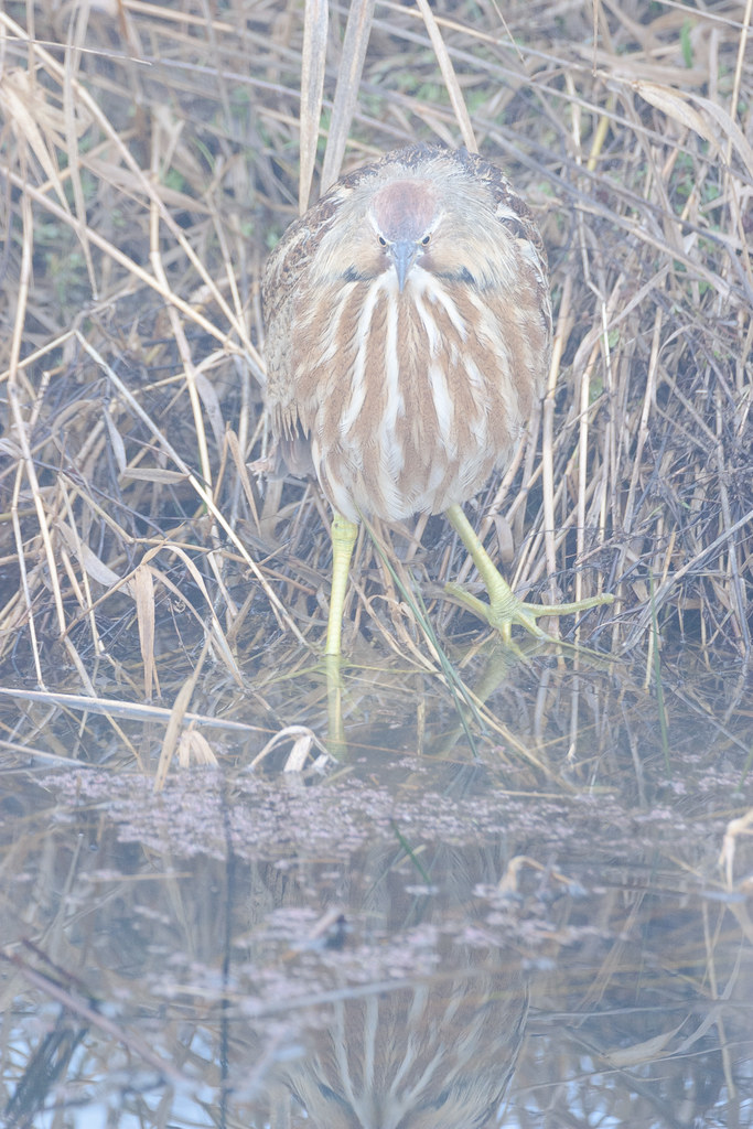 An American bittern looking into the marsh in heavy fog at Ridgefield National Wildlife Refuge in Washington