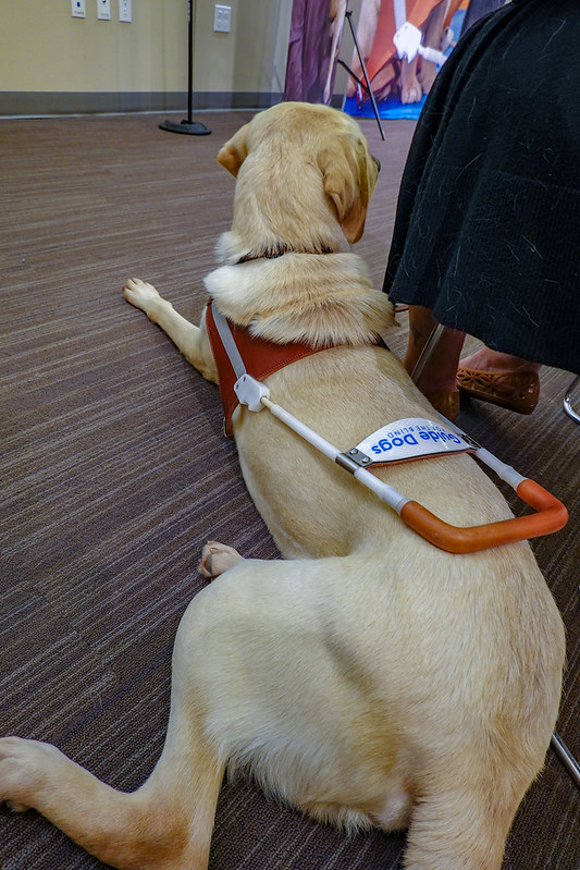 Rich in harness laying next to his new partner at Guide Dogs for the Blind graduation ceremony