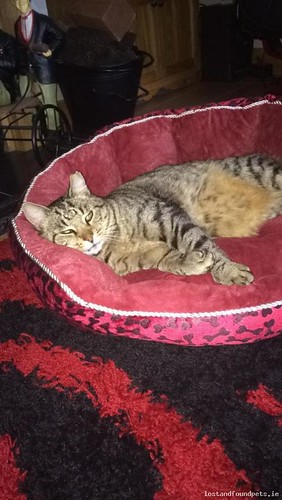 Sat, Aug 11th, 2018 Lost Male Cat - Springlawn, Mountbellew, Galway