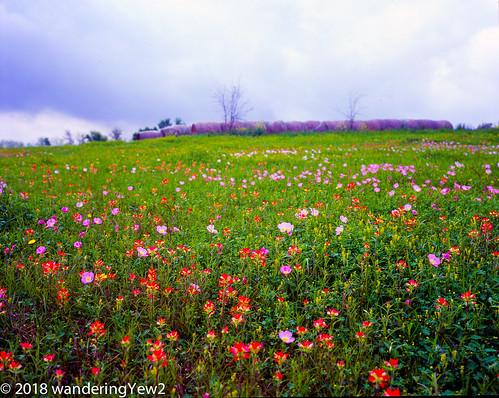 120 6x7 austincounty mamiya mamiya7ii texas texaswildflowers film filmscan flower indianpaintbrush mediumformat pinkeveningprimrose wildflower