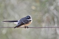 Grey Fantail ( just a quick shot ok )