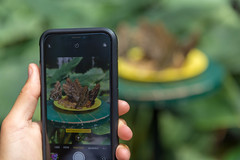Taking photos of feeding butterflies with a phone