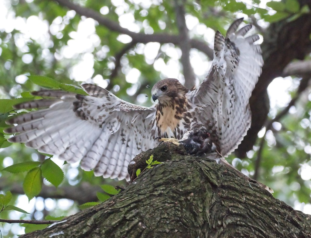 Tompkins red-tail fledgling guards lunch