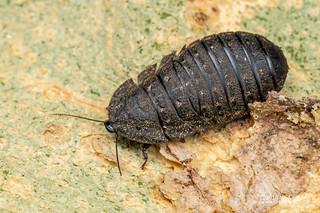 Cockroach (Perisphaerinae) - DSC_6376