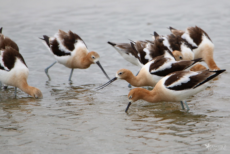 IMG_6548AmericanAvocets