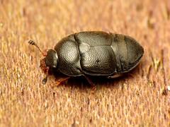 Nitidulid Beetle