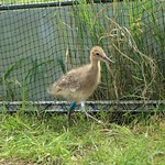 WE-GT-2018 Project Godwit chick BG-WL(E)