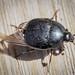 Hister Beetle sp. - Gnathoncus nannetensis