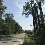 Topole kanadyjskie - ścinka sekcyjna (Luberadz)
