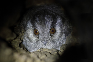 Owlet Nightjar (Aegotheles cristatus)