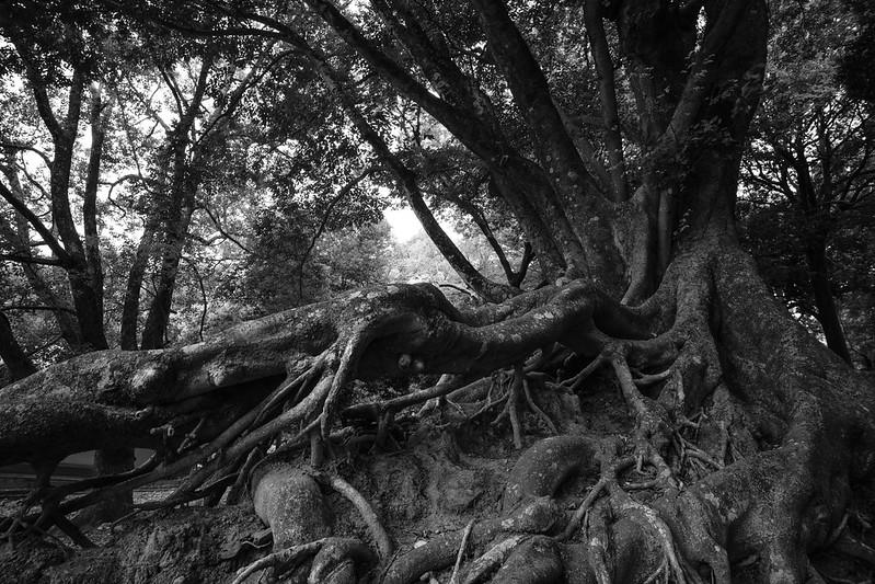 A old tree in NARA Park