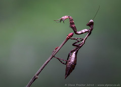 Kenyan Mantis [Explored]