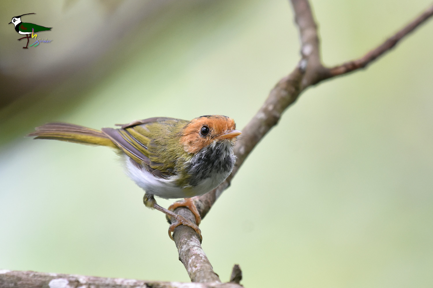 White-throated_Flycatcher_Warbler_2279