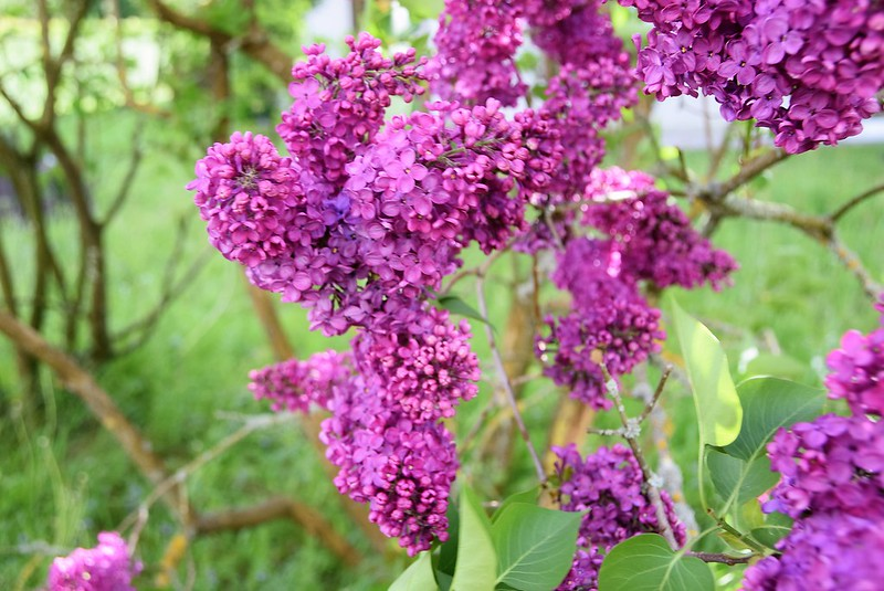 Lilac 30.04 (2)