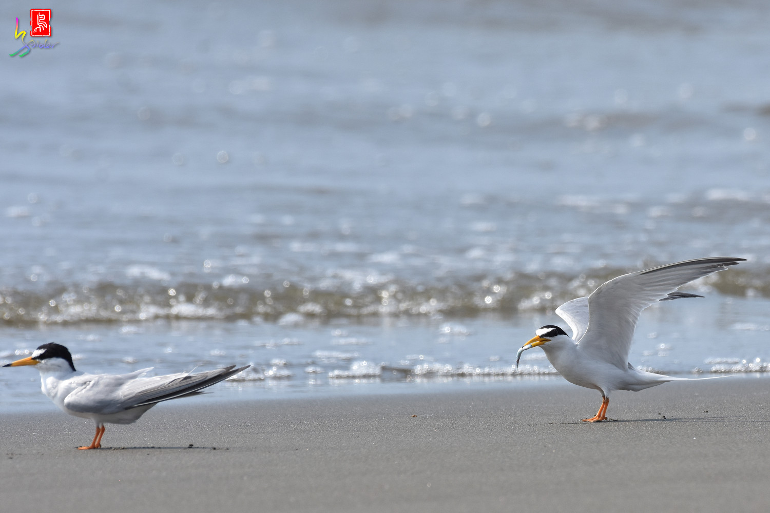 Little_Tern_3979