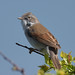 whitethroat 7 2018