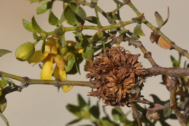 Foliose gall on native Creosote Bush