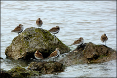 Turnstones waiting for the ebb tide.