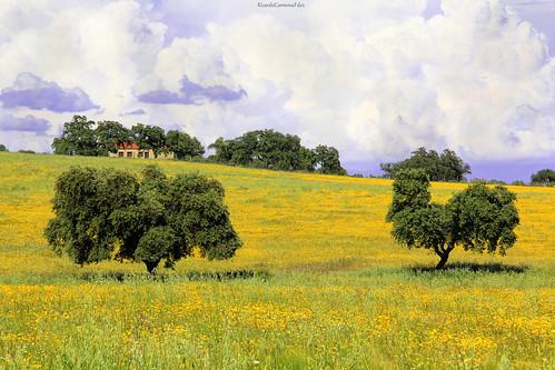 Two holm oaks on yellow spring - Dos encinas sobre amarillo primavera