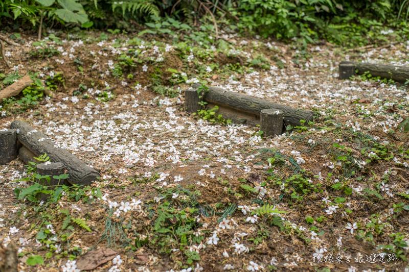 新北三芝三生賞桐步道,從老樹飄落的桐花、最迷人的五月雪,一起悠遊於白色小徑,盡情賞花、排字