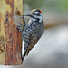 Arizona Woodpecker, male