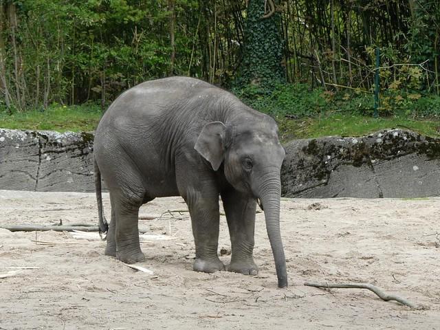 Elefant, Hagenbeck