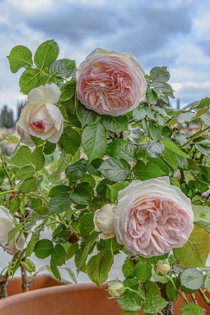 roses and sky, Nikon D4, AF-S Nikkor 24-120mm f/4G ED VR