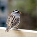 01 White-crowned Sparrow, Tadoussac, Quebec by annkelliott