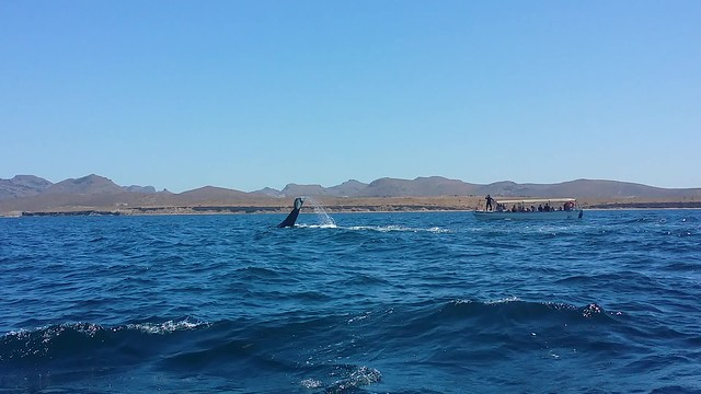 Humpback whale La Paz Mexico video by Mary Deeter