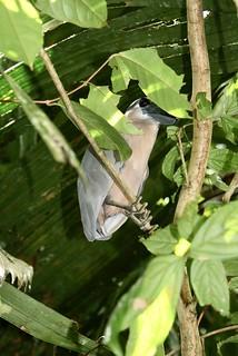 Cochlearius cochlearius (Ardeidae) — boat-billed heron