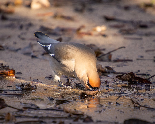 Bohemian Waxwing drinking from puddle