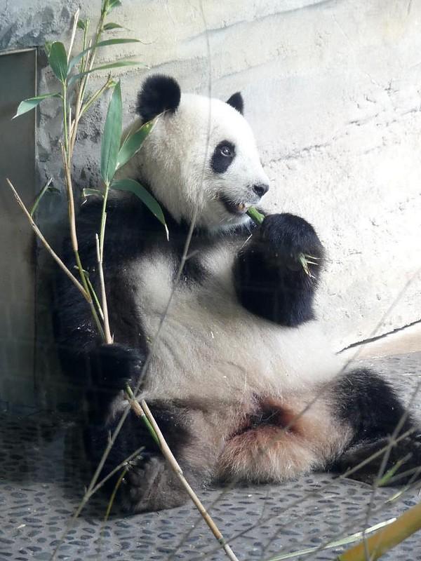 Panda Meng Meng, Zoo Berlin
