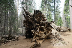 Downed Sequoia Roots