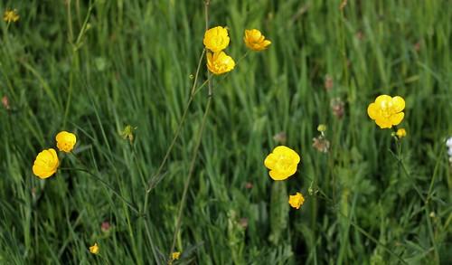 Ranunculus acris - renoncule âcre  41303015785_81fe98d18b