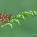 Pearl-bordered fritillary by davolly59