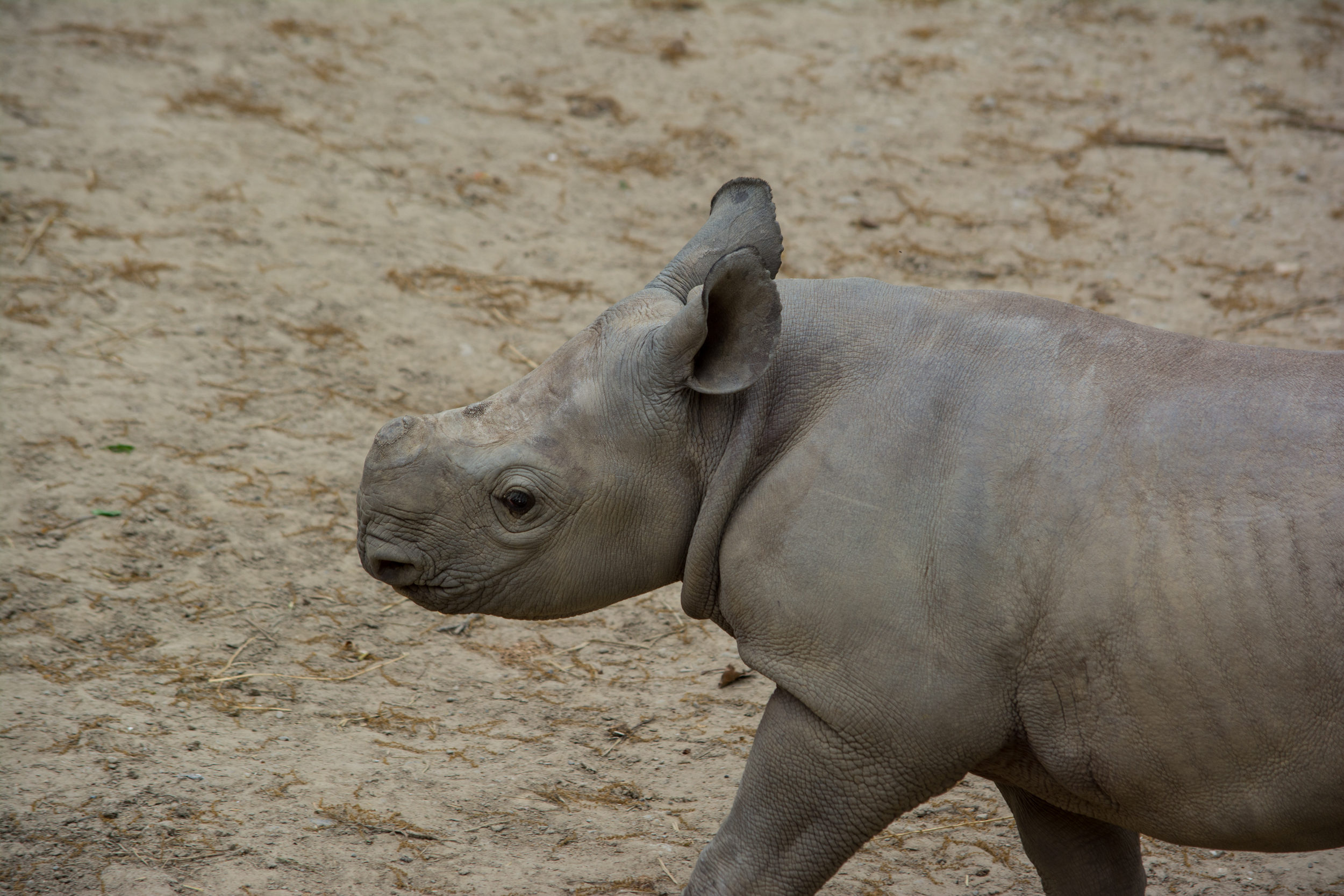 baby rhino 01 - Cleveland Zoo