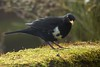 Standing Out from the Crowd: A White-chested Blackbird