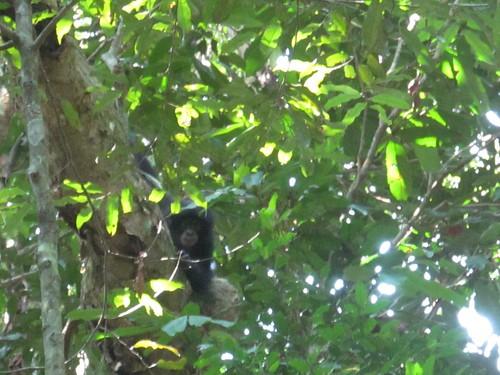 attendent bonobo