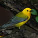 Prothonotary Warbler by PeterBrannon