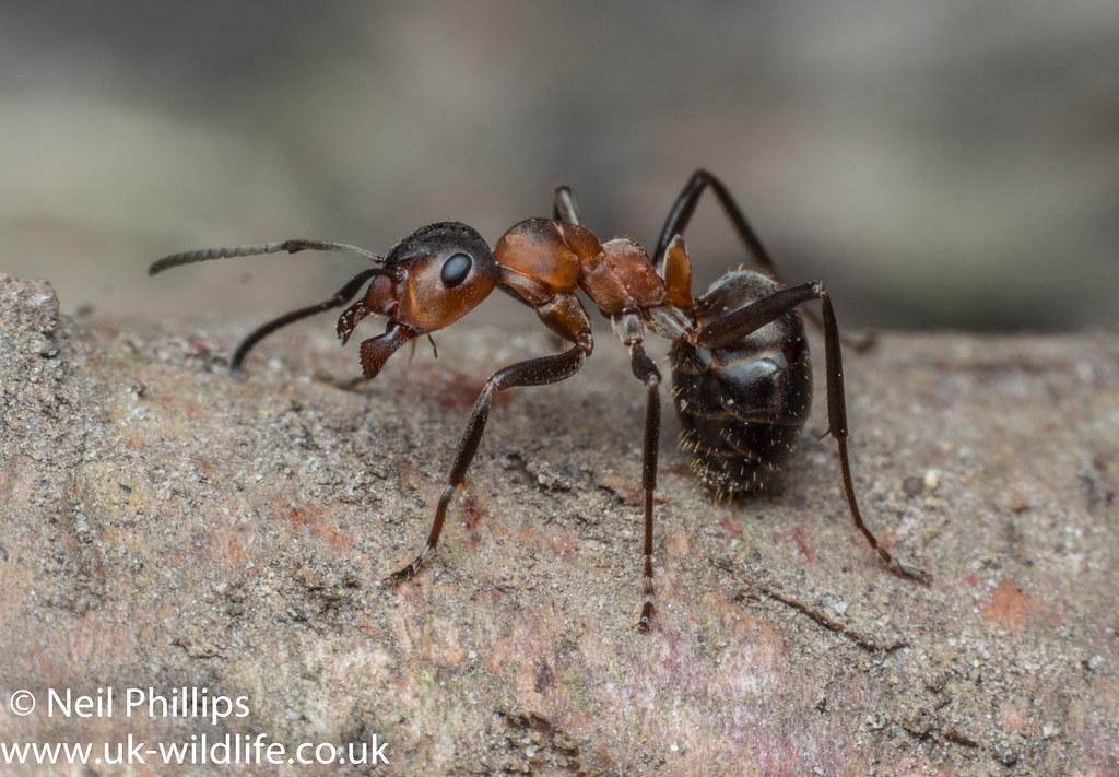 Wood ant-4
