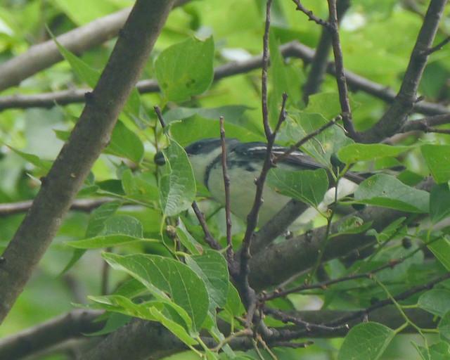 Cerulean Warbler Male - 1