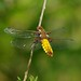 Broad Boded Chaser